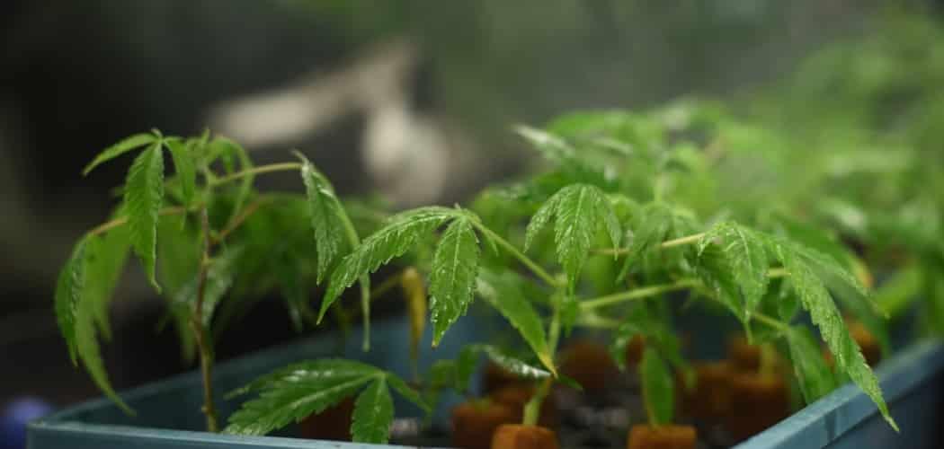 Différentes cultures du cannabis