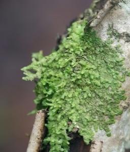 Hépatique – Radula marginata