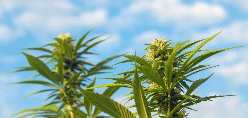 Une plante CBD naturelle ou bien féminisée ?